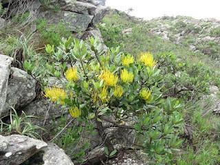 Psittacanthus sp.
