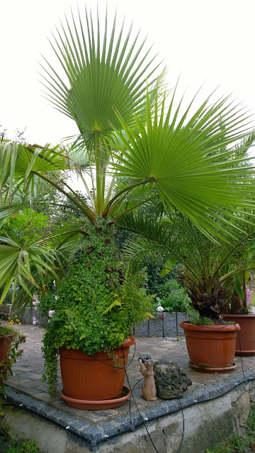 Zimbelkraut erobert Washingtonia Palme (c) by Joachim Wenk