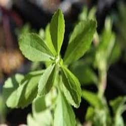 Organic Natural Herbs, Ayurvedic Herbs, Stevia herbal Sweet herb,