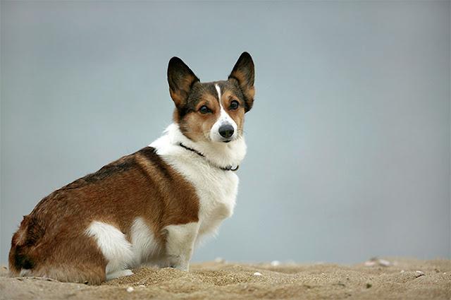Hình ảnh những chú chó Corgi chân ngắn siêu đáng yêu
