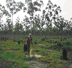 Gambar Pemberian pupuk pada tanaman belum menghasilkan
