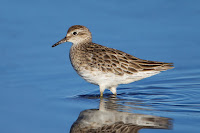 Sharp-tailed Sandpiper – New South Wales, Australia – Feb. 2014 – photo by J.J. Harrison