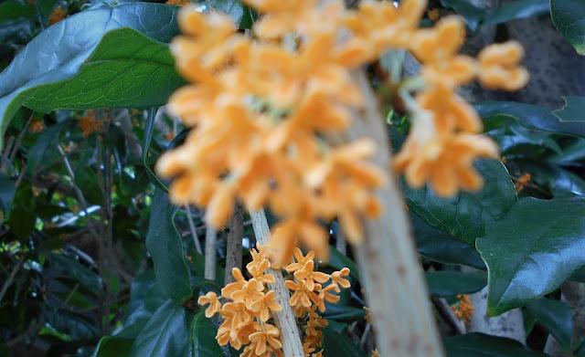 正面の花はボケて、隅の花に合焦している金木犀