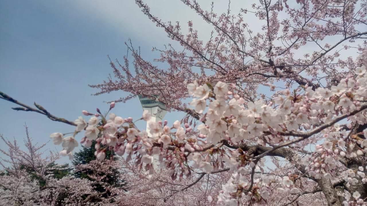 Prefecture Sakura Sunday 🌸