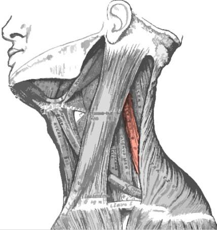 Músculo elevador de la escápula resaltado de color rojo