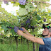 Mais de 7 mil toneladas de uva serão colhidas em Videira neste ano