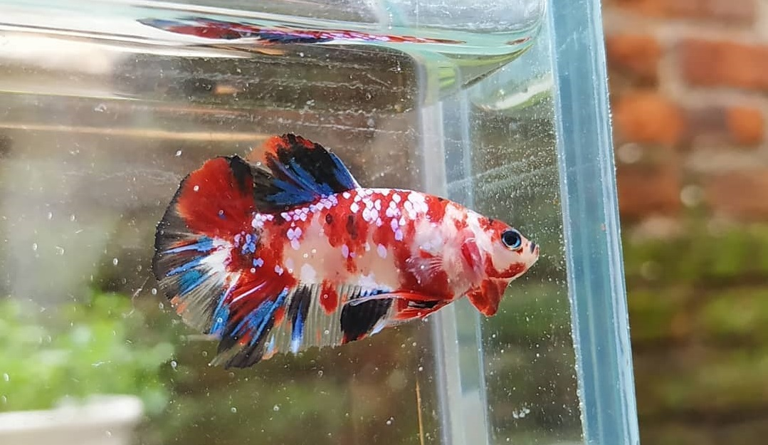 Peluang Usaha Ikan Cupang Menghasilkan 40 Juta dalam Sebulan