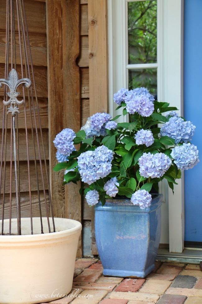 Summer Courtyard Blue French Hydrangeas on Front Porch