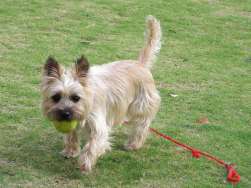 The Playful and Inquisitive Dog: Cairn Terrier