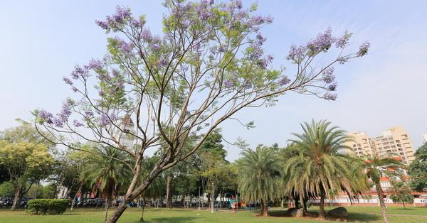台中北屯|松勇公園|景美公園|藍花楹|藍紫色花毯也漂亮