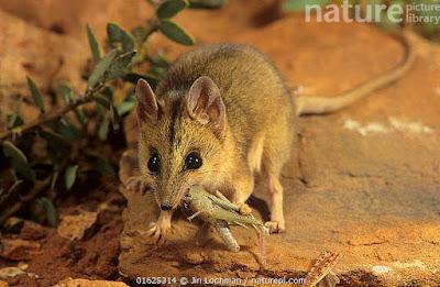 Ratón marsupial cara rayada (Sminthopsis macroura)