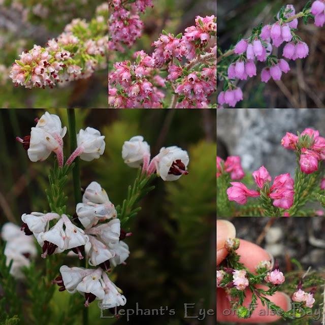 Ericas in July at Silvermine Crags
