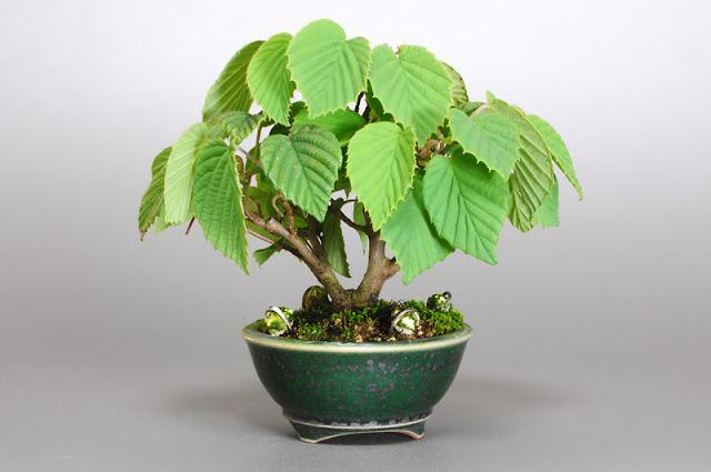 トサミズキD(土佐水木盆栽)Corylopsis spicata bonsai