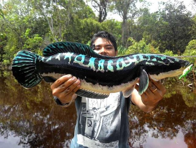 Toman-snakehead-fish