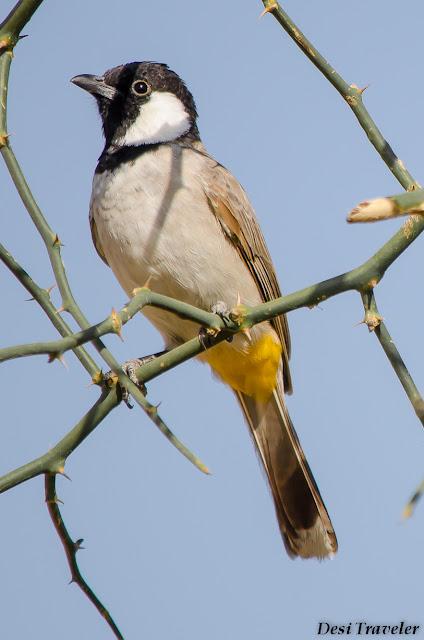 bird on a thorny bush in tal chhapar