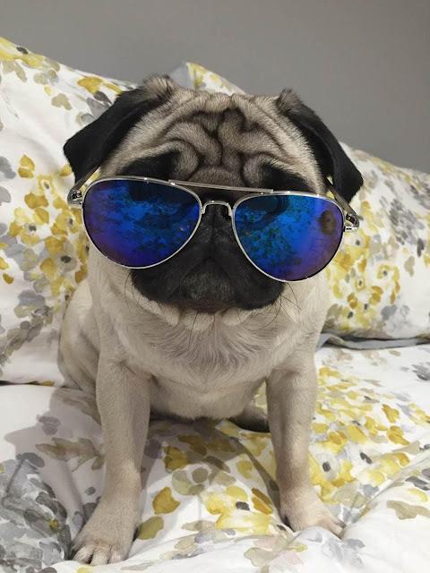 Vision Direct Pug Gizmo