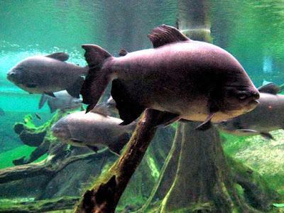 Ikan Pacu Amazon