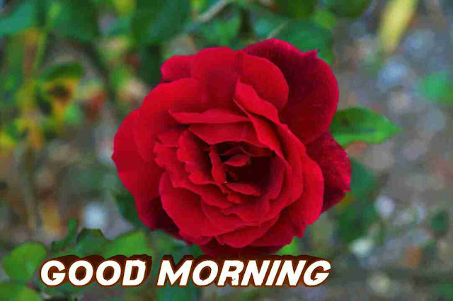 Awesome good morning image with red rose flower have a good day