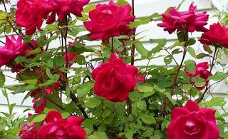 Bunga Mawar dan Manfaatnya