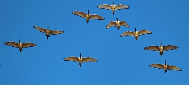 swan-flying-v-formation