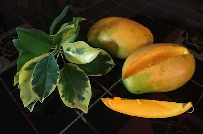 Health Benefits of Mangoes आम के फायदे Weight Loss, Boost Immunity,