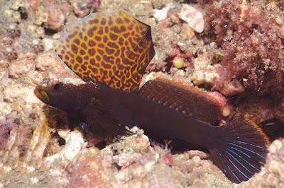 Ikan Shrimpgoby