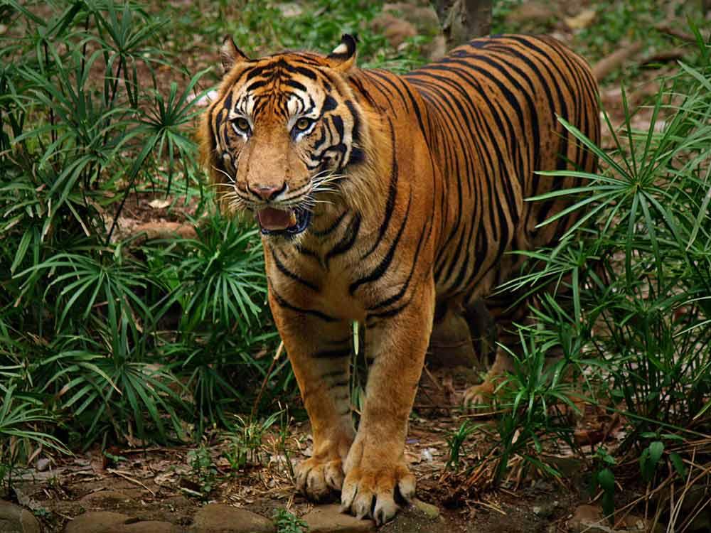 harimau sumatera  Tugas Sekolah Ku