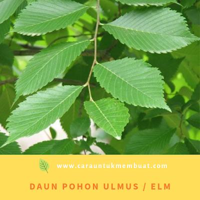 Daun Pohon Ulmus