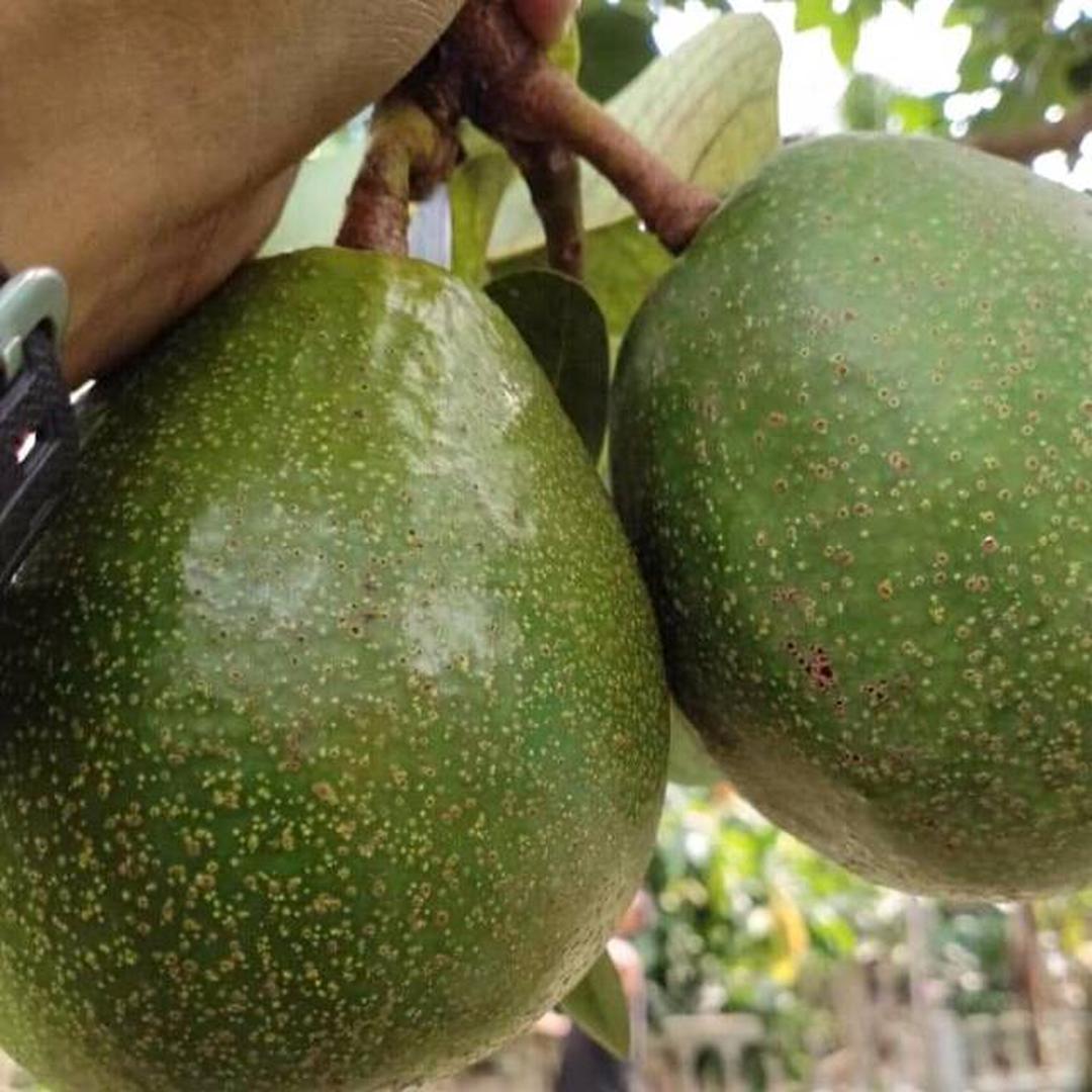 Bisa Beli Ecer! Bibit buah alpukat miki sambung pucuk Kota Bogor #bibit buah buahan