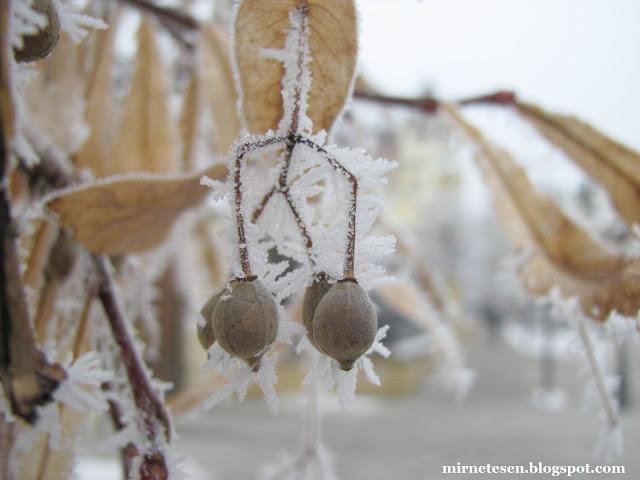 Орешки липы, покрытые инеем - Нови Сад, Сербия