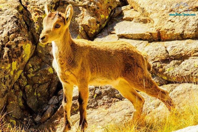 Chivo cabra iberica
