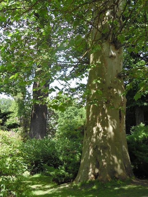 stare drzewo w ogrodzie japońskim