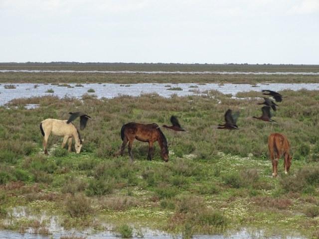 caballo marismeño curiosidades pastando