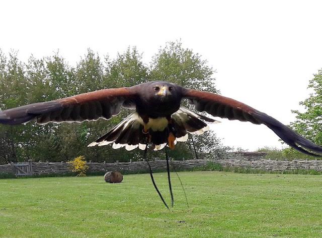 Erlebt die Wikinger! Unser Tag im Ribe VikingeCenter. Falkner-Show bzw. Flugschau mit Raubvögeln