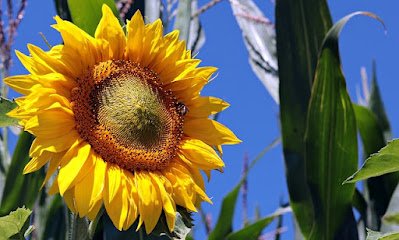 yellow sunflower with green leaves against a blue sky