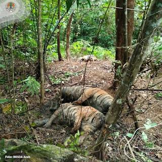 Terungkap Penyebab Kematian 3 Harimau Sumatera di Aceh Selatan