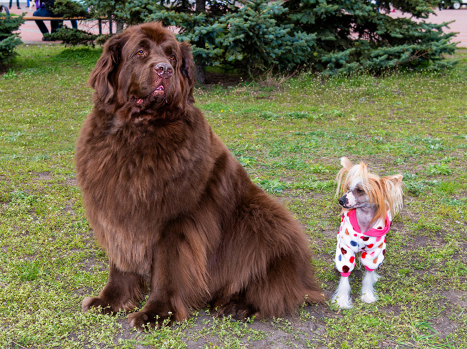 Big Dog From Tibet