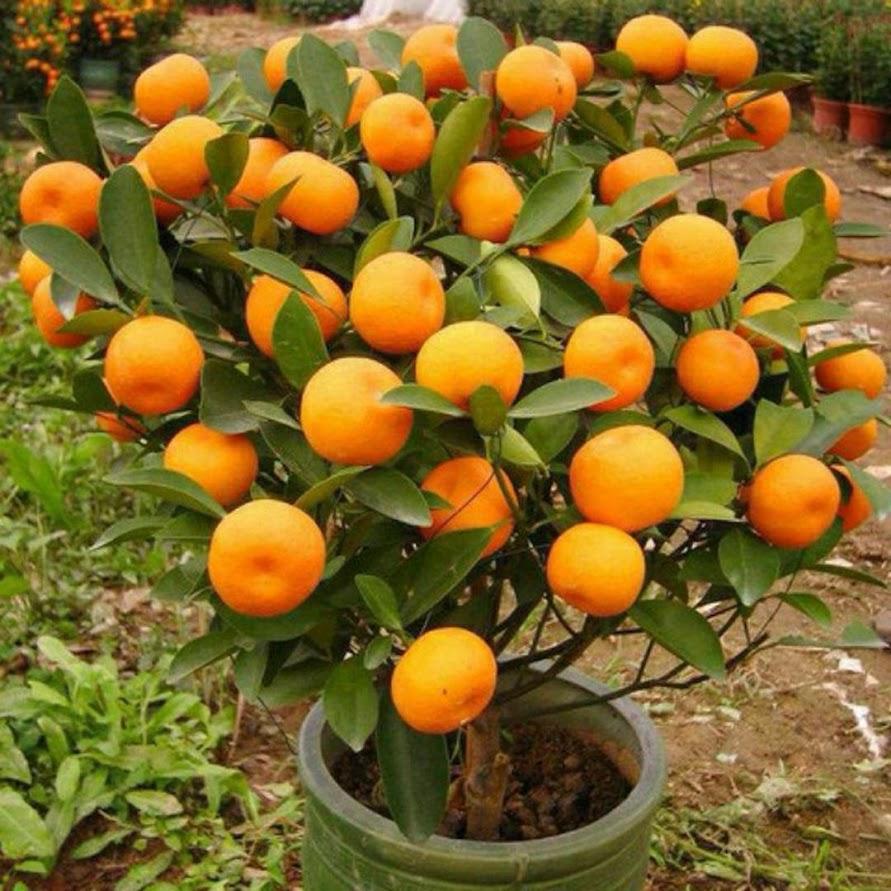 Bibit tanaman jeruk santang madu Denpasar
