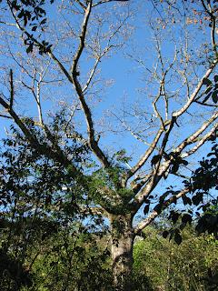 Kapok Tree Flowers