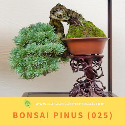 Bonsai Pinus (025)