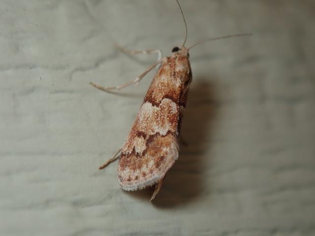 Noctueliopsis puertalis