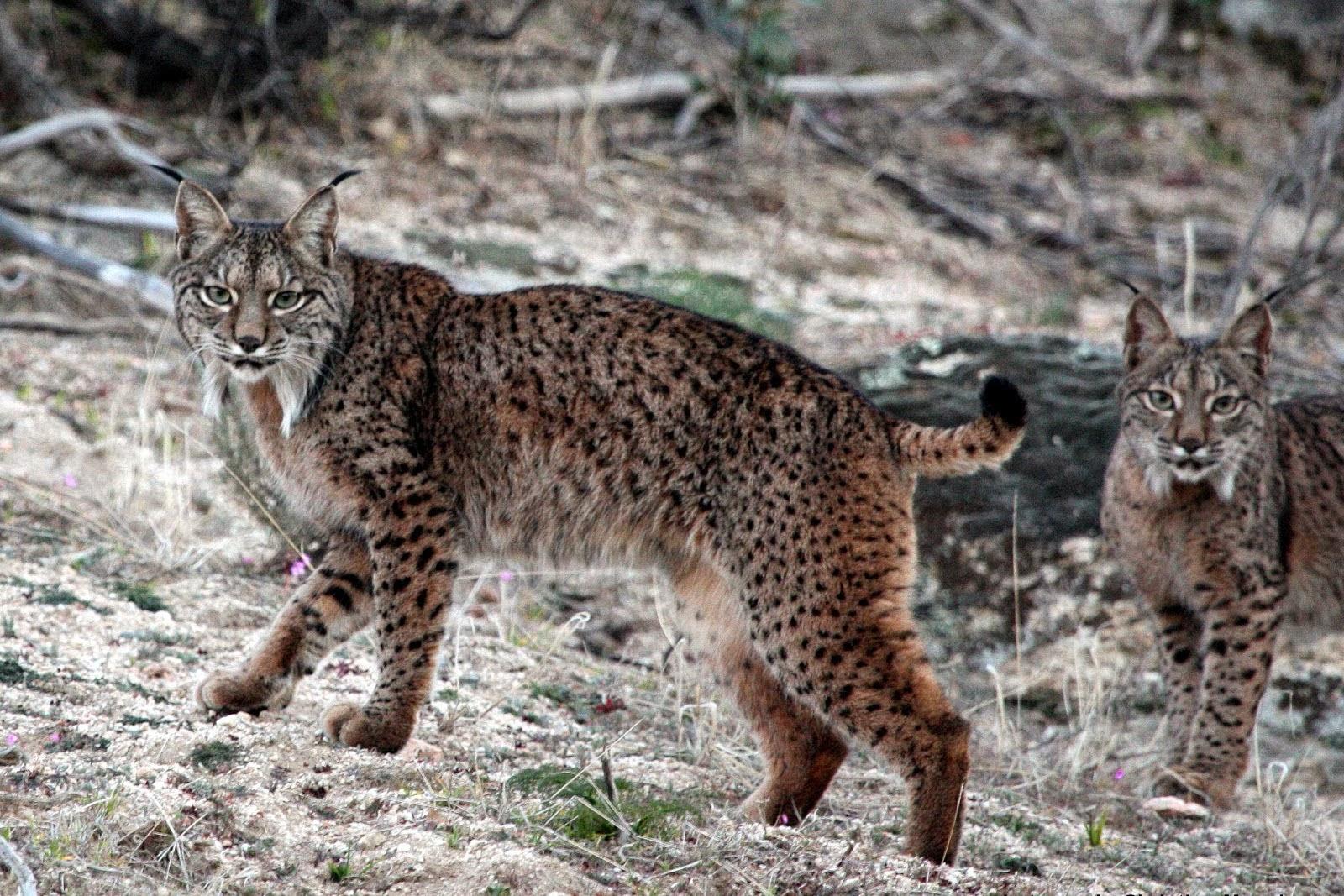【石虎報報】棲息地遭破壞 伊比利亞猞猁瀕絕 (石虎遠親有危險!) - 石虎抱抱 Hug Taiwan Leopard Cat