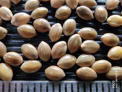 Close-up photo of Proso Millet grains.