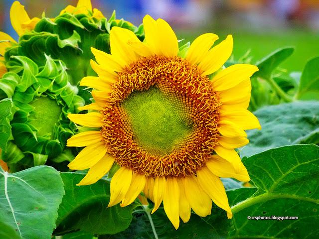 Beautiful Sunflower at Eco Tourism Park, Kolkata