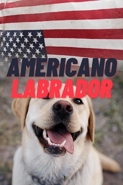 Labrador Americano y bandera americana