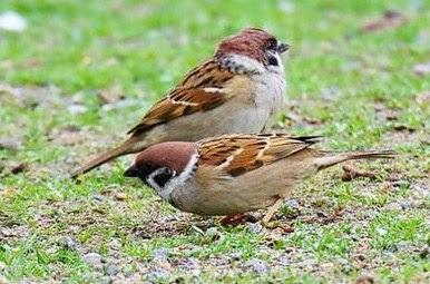 4 Ciri Perbedaan Fisik Burung Gereja Anakan Jantan Dan Betina Paling Akurat