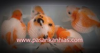 Ikan hias Mas Koki Mutiara