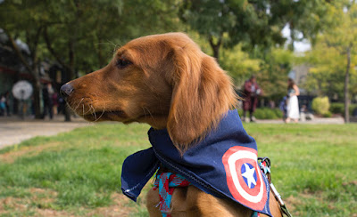 A brown dog is wearing a navy blue handkerchief with the Captain America shield on it as well as a harness