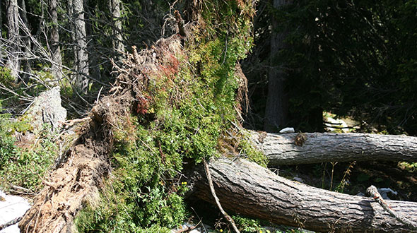 Storm damaged tree killed by windthrow