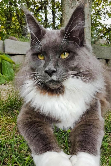 Bicolor gray-and-white Maine Coon